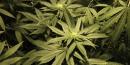 En mission, des pompiers trouvent 1000 plans de cannabis