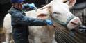 """Olivier Le Moign, éleveur, et """"Blanche"""", vache charolaise, le 19 février 2009 à Corlaix avant son départ pour le salon de l'agriculture"""