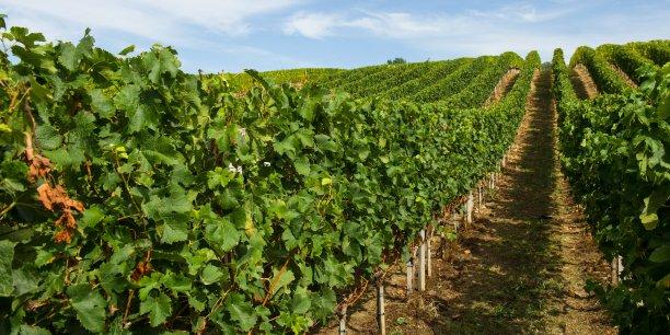 Entre 2008 et 2014, le rendement moyen de la vigne en France a reculé de 4,6 hl par hectare. La profession tente de comprendre pourquoi et de mettre en place un plan de lutte contre ce dépérissement qui semble inéluctable.