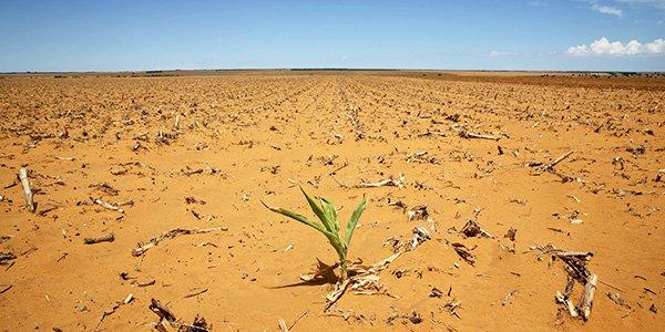 Champ de plants de maïs dans le district de Hoopstad, en Afrique du Sud.