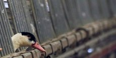 L'élevage des canards, particulièrement affecté par le retour de la grippe aviaire, devrait pouvoir reprendre en mai 2016, selon le ministre de l'agriculture Stéphane Le Foll.
