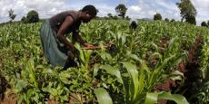 Un fermier cultive la terre au Malawi, l'un des pays les plus pauvres d'Afrique.