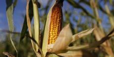 L'usage dans l'agriculture de récoltes OGM résistantes aux insectes nuisibles et aux herbicides n'a pas réduit la diversité des plantes et des insectes dans ces exploitations agricoles, souligne le rapport