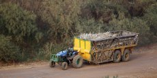 Transport de cannes à sucre après la récolte, dans l'ouest du Kenya, en 2015.