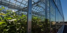 Pour réduire le poids de la structure, Les Fermes Lufa optent notamment pour l'agriculture hydroponique (hors-sol), en intégrant ce critère aussi dans le choix des semences et des substrats.