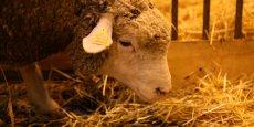 Avec 21% du cheptel national, la région Occitanie est la première région de production ovine allaitante de France.