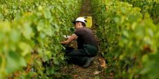 Les premières vendanges se sont déroulées dans des conditions sanitaires relativement bien préservées (comme ici, en Champagne), à l'exception des régions du littoral de la façade Atlantique (Charente et Val de Loire), où des foyers de pourriture ont commencé à se développer.