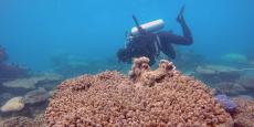 La grande barrière de corail a subi cette année la plus importante hécatombe de coraux jamais observée, en raison d'un épisode de blanchissement très sévère consécutif au changement climatique.