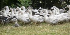 Les autorités ont décidé d'abattre tous les canards encore vivants dans les Landes, soit au total 600.000 palmipèdes.
