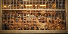 Un élevage de poules en batterie à Maroué (Bretagne).