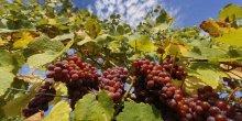 La viticulture a les moyens de s'adapter au changement climatique