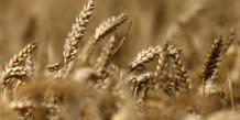 La France importe du blé pour compenser une récolte médiocre