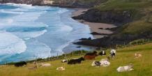 L'Irlande exporte 85% de sa production en viande, notamment vers le Royaume-Uni.