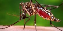 L'épidémie de chikungunya explose en Polynésie française
