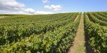 vignes - Bordeaux