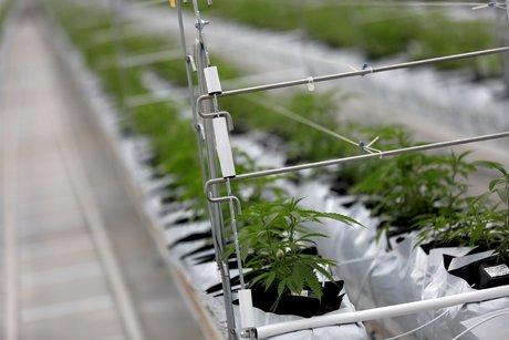 La ruee sur le cannabis se poursuit a wall street