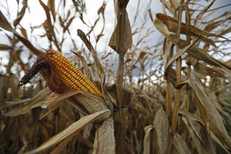 Un champ de maïs prêt à être moissonné, le 27 octobre 2013 à Stutzheim.