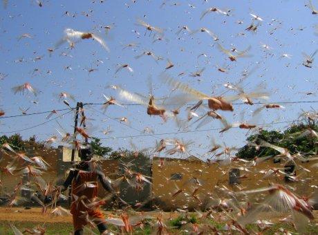Invasion d'insectes (sauterelles ici) au Nord du Sénégal le 4 octobre 2014