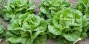 La salade est surveillée par la DGCCRF pour sa forte sensibilité aux pesticides