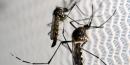Moustique Aedes aegypti