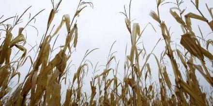 La loi interdisant la culture des maïs OGM validée
