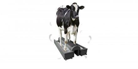 vache podoluve