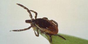 maladie de Lyme, tique, parasite, borrelia, bactérie,