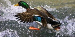 Un cas de grippe aviaire dans le pas-de-calais