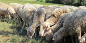 Arterris, filière ovine