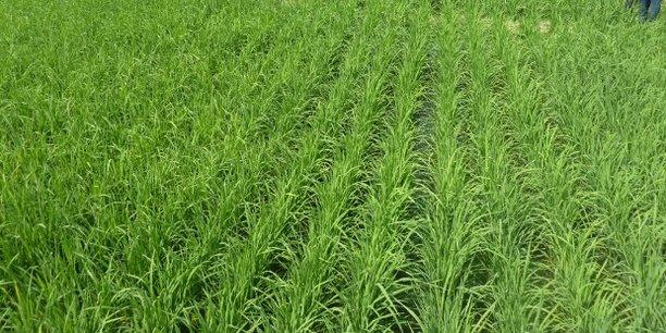 L'amélioration de la production est salutaire pour le Sénégal, parmi les plus gros consommateurs de riz en Afrique et qui a réduit progressivement sa dépendance aux importations depuis 2007.