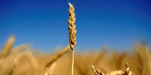 Avec un prix moyen  payé à l'agriculteur français de 170 euros la tonne, mais un coût de production en hausse à 166 euros la tonne à cause des baisses de rendement, la marge (4 euros la tonne) sera insuffisante pour combler le trou laissé par la récolte catastrophique de 2016.