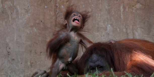 Parmi les espèces emblématiques qui disparaissent progressivement, l'orang-outan de Bornéo, à cause du déboisement.