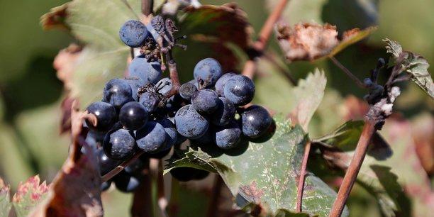 Le chasselas de moissac fait chanter ses vignes pour mieux les soigner[reuters.com]