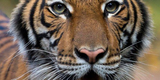 Coronavirus: un tigre contamine dans un zoo de new york[reuters.com]