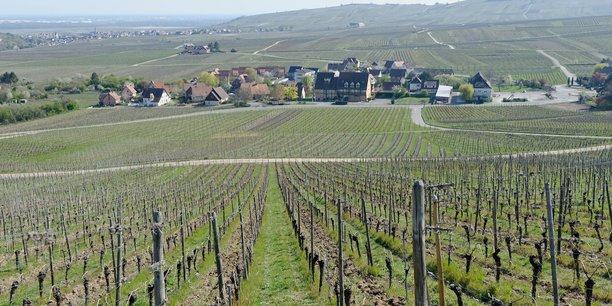 Les vignes du grand cru Schoenenbourg è Riquewihr (Haut-Rhin).