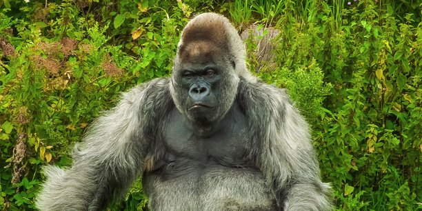 Dans La Tribune, l'entrepreneur bordelais Guillaume-Olivier Doré donne la parole aux gorilles à dos argenté, ces chefs d'entreprises aux tempes grisonnantes