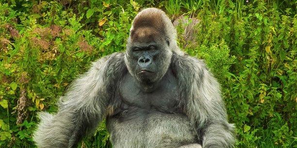 Dans La Tribune, l'entrepreneur bordelais Guillaume-Olivier Doré donne la parole aux gorilles à dos argenté, ces chefs d'entreprises aux tempes grisonnantes (Crédits : CC Pixabay by Diego_Torres)