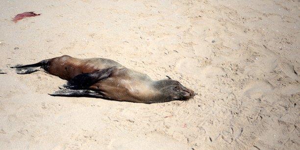 Plus de 7.000 cadavres de phoques echoues en namibie[reuters.com]