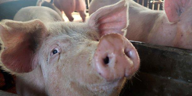 La population porcine mondiale, qui était stable à environ 800 millions de têtes avant la pandémie, chutait d'un quart avant de se rétablir fin 2020 pour revenir vers les 680 millions de têtes. La Chine, qui concentre plus de 50 % de la production mondiale, a perdu plus de la moitié de son cheptel.
