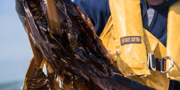En octobre dernier, Algolesko a levé 1,2 million d'euros pour démarrer la production d'algues brunes bio en pleine mer au large de Moëlan-sur-Mer. L'entreprise exploite aussi un site au large de Lesconil.