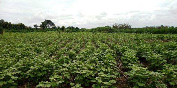 Etendue d'un champ de coton au Bénin.