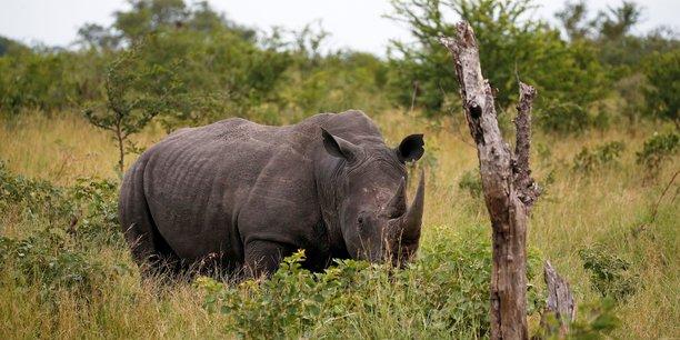 Afrique du sud: le braconnage des rhinoceros reprend apres un repit lie au coronavirus[reuters.com]