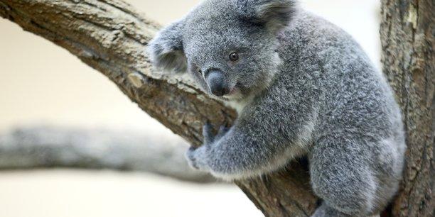 La population de koalas australiens a diminue d'un tiers en trois ans[reuters.com]