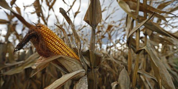 Des parcelles plantées de maïs OGM sur deux exploitations, dans le Tarn-et-Garonne et en Haute-Garonne voisine, ont été détruites en vertu de l'interdiction de ce type de culture en France. /Reuters