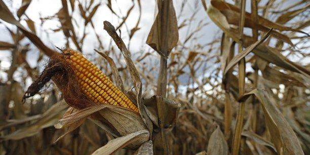 Quatre OGM ont obtenu une autorisation de culture dans l'UE, mais un seul est encore cultivé dans quelques Etats. (Reuters/Vincent Kessler)