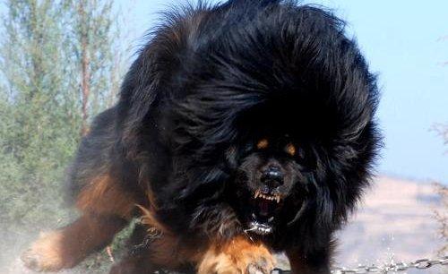 Sehr Le chien à 1 million d'euros qui rend fous les Chinois fortunés JF37