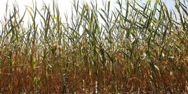Le ministère de l'Agriculture a pris un arrêté le 14 mars dernier interdisant le MON 810, seul maïs OGM autorisé à la culture dans l'Union européenne.