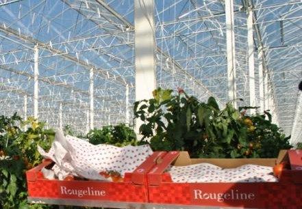 Le contrat de trois ans qui sera signé demain à Marmande porte sur la fourniture, par Rougeline, de 450 tonnes de tomates charnues par an.