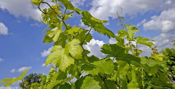 La prise de position en faveur d'une sortie de l'usage des pesticides était un des actes forts du président Bernard Farges, à l'occasion de la dernière assemblée générale de l'interprofession viticole de Bordeaux.