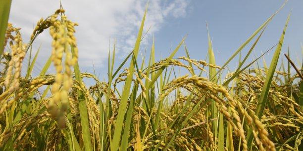 Des sacs de 5 kilogrammes de riz en provenance de Fukushima seront vendus à Singapour à partir du 22 août. Ici, en photo, un champs de riz situé à Soma, à 40 km au nord de Fukushima Daiichi.